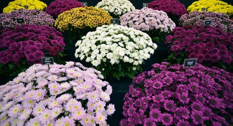 types-chrysanthemum-varieties