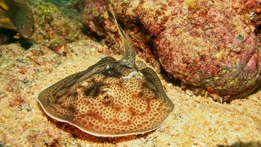 What Are Some Types of Stingrays?
