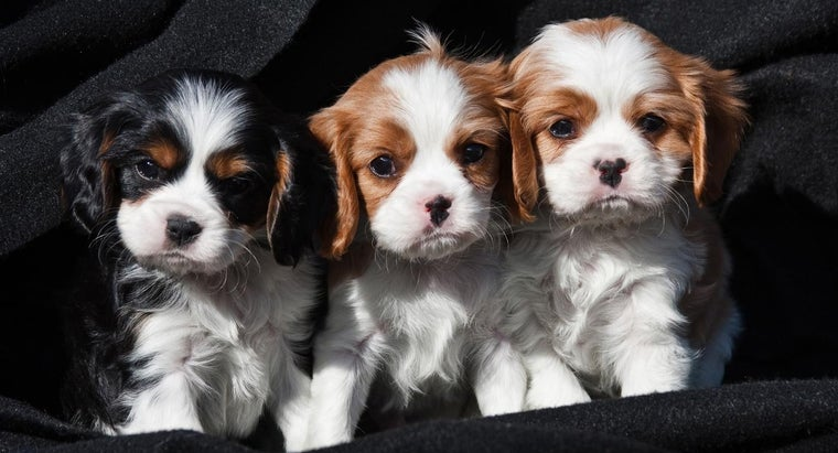 typical-temperament-cavalier-king-charles-spaniel