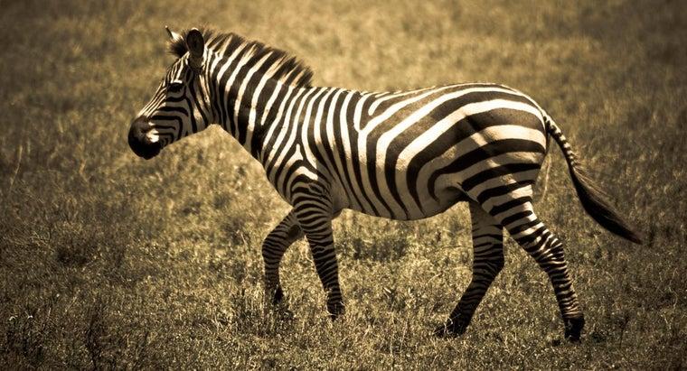 unusual-zebras