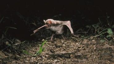 What Do Vampire Bats Eat?