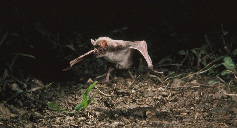 vampire-bats-eat
