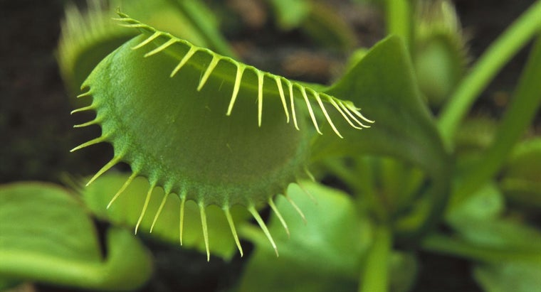 venus-flytraps-grow-naturally