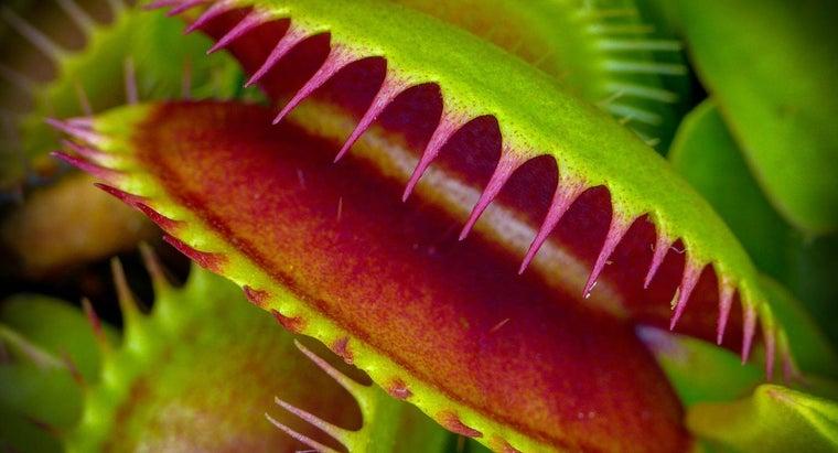 venus-flytraps-live