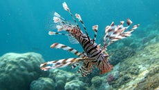 What Is a Volitan Lionfish?