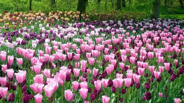 How Often Do You Water Tulips?