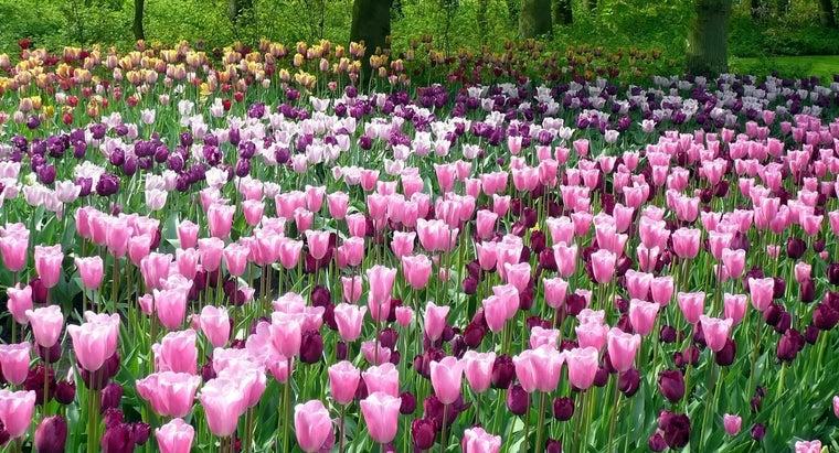water-tulips