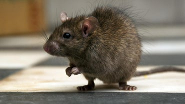What Is the Best Way to Kill a Rat?