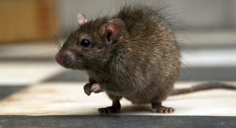 way-kill-rat