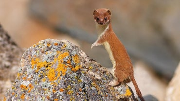 Where Do Weasels Live?