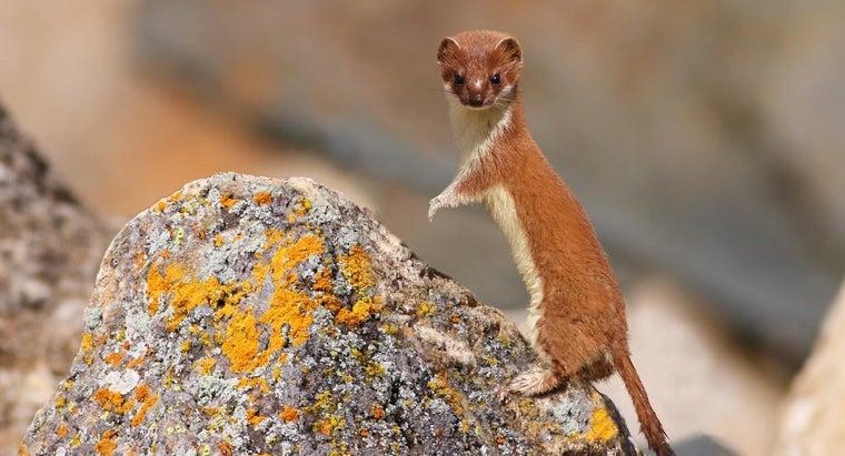 weasels-live