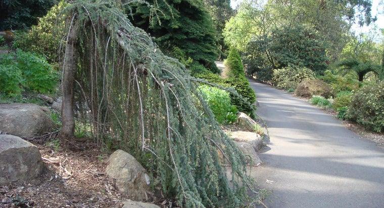 weeping-cedar-tree