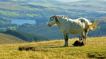 What Is a Welsh Mountain Pony?