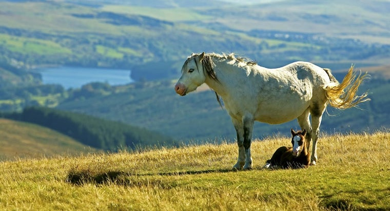 welsh-mountain-pony