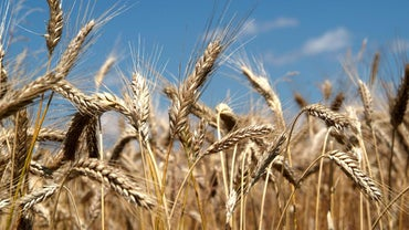 What Were the Staple Crops of the American Colonies?