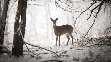 What Are Some Predators of Deer?