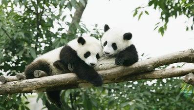 What Are the Predators of the Panda?