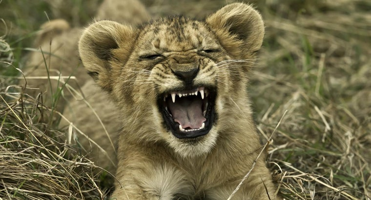 young-lion-called
