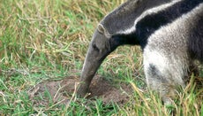 What Do Anteaters Eat?