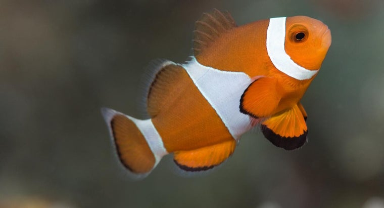 clownfish-eat