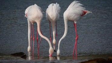What Do Flamingos Eat?