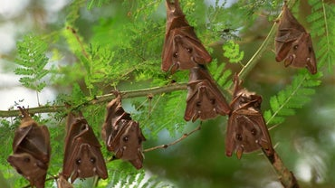 What Do Fruit Bats Eat?