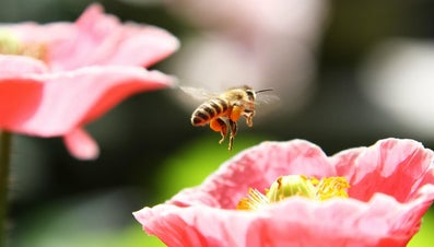 What Do Honey Bees Eat?