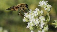 What Do Horseflies Eat?
