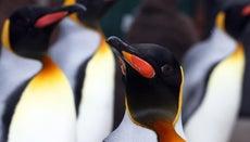 What Do King Penguins Eat?