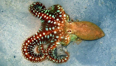 What Do Octopuses Eat?