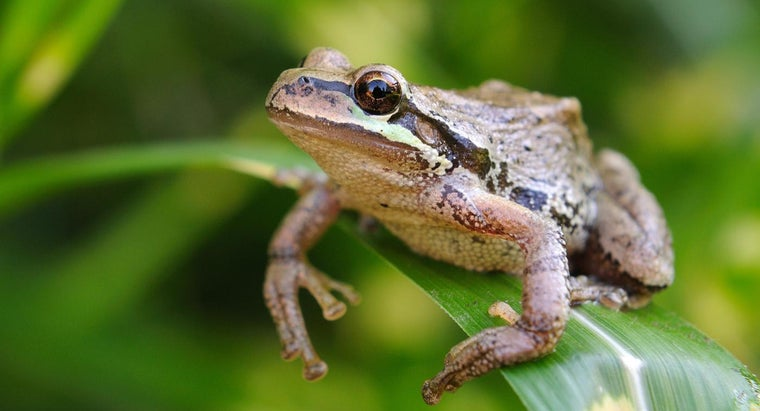 pacific-tree-frogs-eat