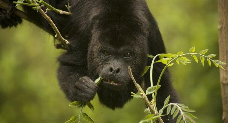 howler-monkey-eat