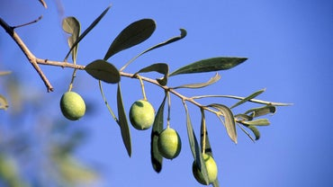 What Does the Olive Tree Symbolize?