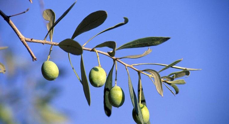 olive-tree-symbolize