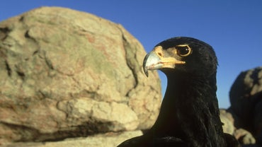 What Does a Black Eagle Eat?