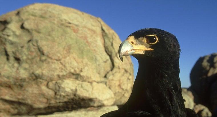 black-eagle-eat