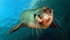 What Eats Sea Lions?