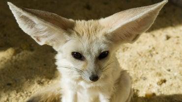 What Preys on the Desert Fox?