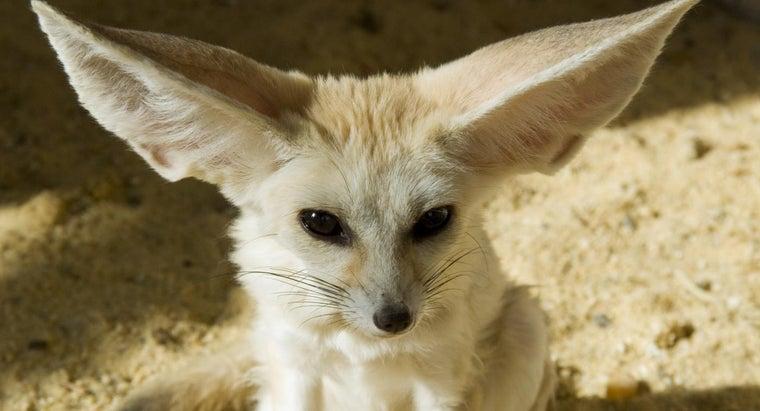 preys-desert-fox