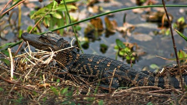 What Do You Call a Baby Alligator?