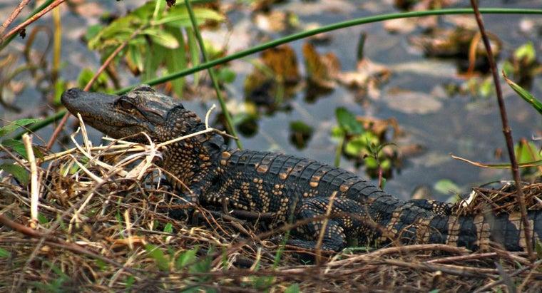 call-baby-alligator