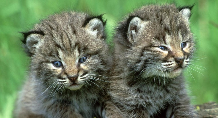 baby-bobcat-called