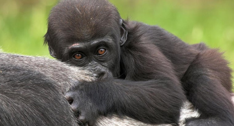 baby-gorilla-called