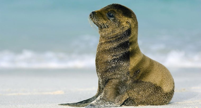 baby-sea-lion-called