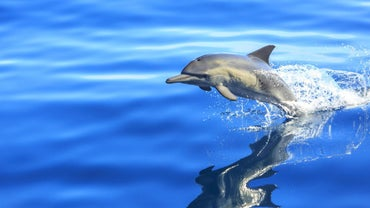 Where Is a Dolphin Situated in the Food Chain?