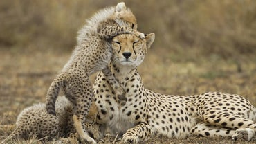 What Is a Female Cheetah Called?