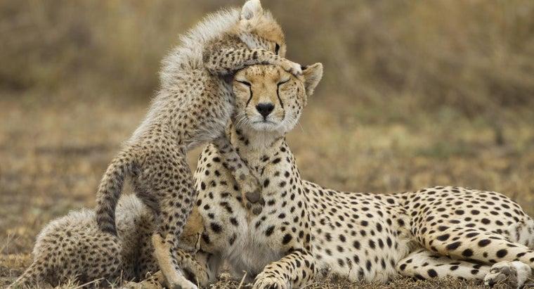 female-cheetah-called