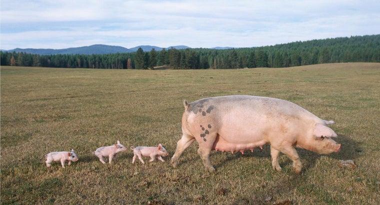 female-pig-called