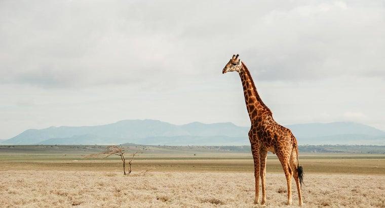 natural-habitat-giraffes