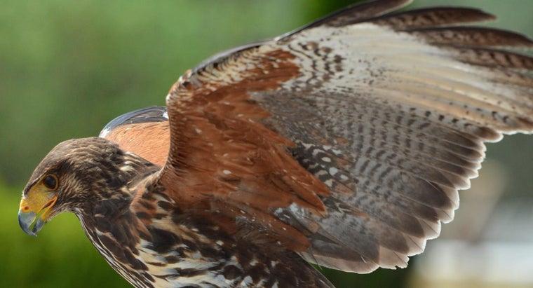 male-hawk-called